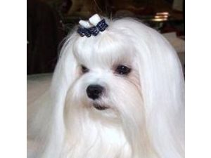 maltese puppies for sale in sc maltese puppies for sale 9355