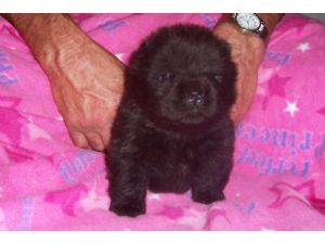 Chow Chow Puppies In Florida