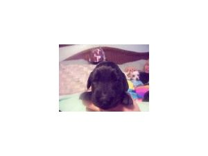 Flat-Coated Retriever puppies for sale