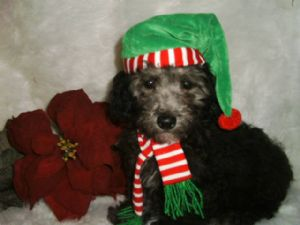 Miniature Poodle Puppies In Missouri