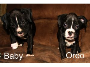 Purebred Boxer Puppies For Sale In Nj
