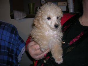 Toy Poodle Puppies In West Virginia