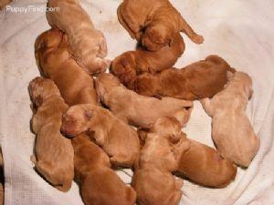 Golden Retriever Puppies In Colorado