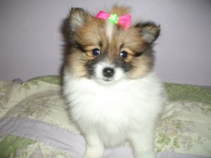 pomeranian puppies for sale in pittsburgh pa pomeranian puppies in pennsylvania 7508