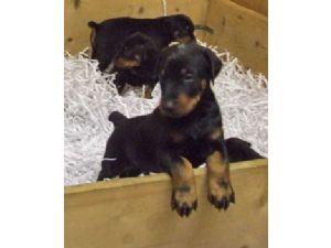 Doberman Pinscher Puppies in Arizona