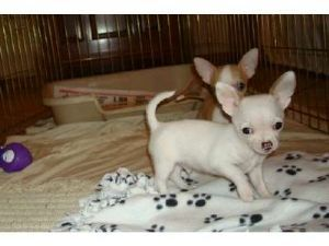 Chihuahua Puppies in Pennsylvania