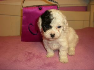 Toy Poodle Puppies in California