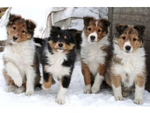 Shetland Sheepdog Puppies In Iowa
