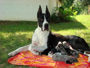 Great Dane Puppies In Kentucky