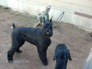 Giant Schnauzer Puppies In Texas
