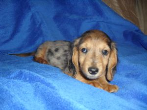 Dachshund Puppies In Indiana