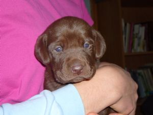 Chocolate labrador puppies knoxville tn