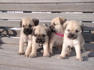 Pug Puppies in New York