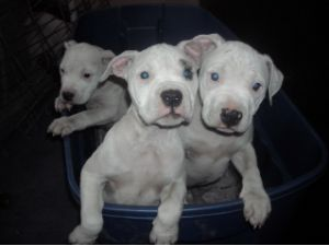 American Bulldog Puppies In Indiana