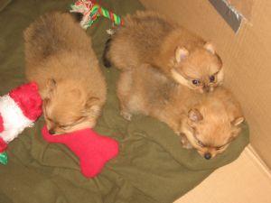 Pomeranian Puppies in Ohio
