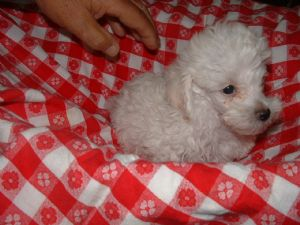 Toy Poodle Puppies In Texas
