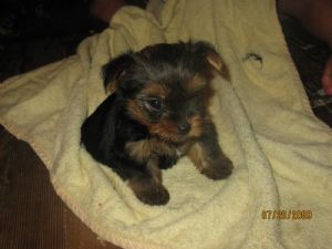 yorkie puppies for sale in philadelphia yorkshire terrier puppies in pennsylvania 2982