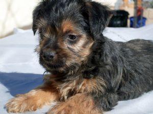 Silky Terrier Puppies In California