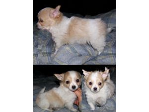 Chihuahua Puppies in Oklahoma