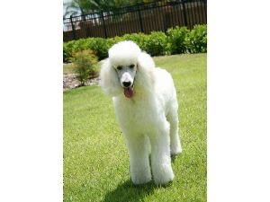 Standard Poodle Puppies In Florida