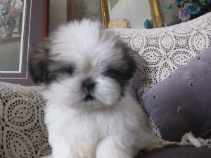Shih Tzu Puppies In Iowa