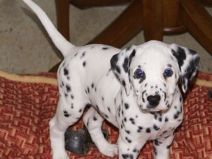 Dalmatian Puppies In New Jersey