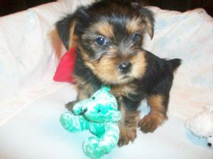 Yorkshire Terrier Puppies in Alabama