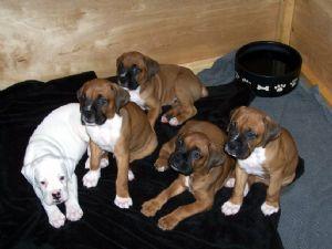 Boxer Puppies In Florida