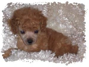 Toy Poodle Puppies In Idaho