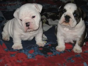 English Bulldog Puppies In Indiana