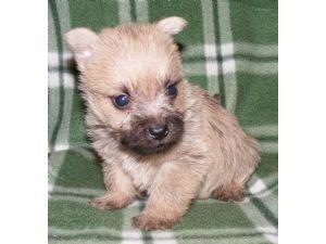 Cairn Terrier Puppies in Iowa