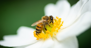 Photo of honey bee on a flower