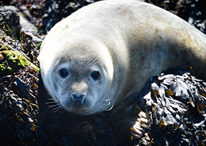 scottish grey seal
