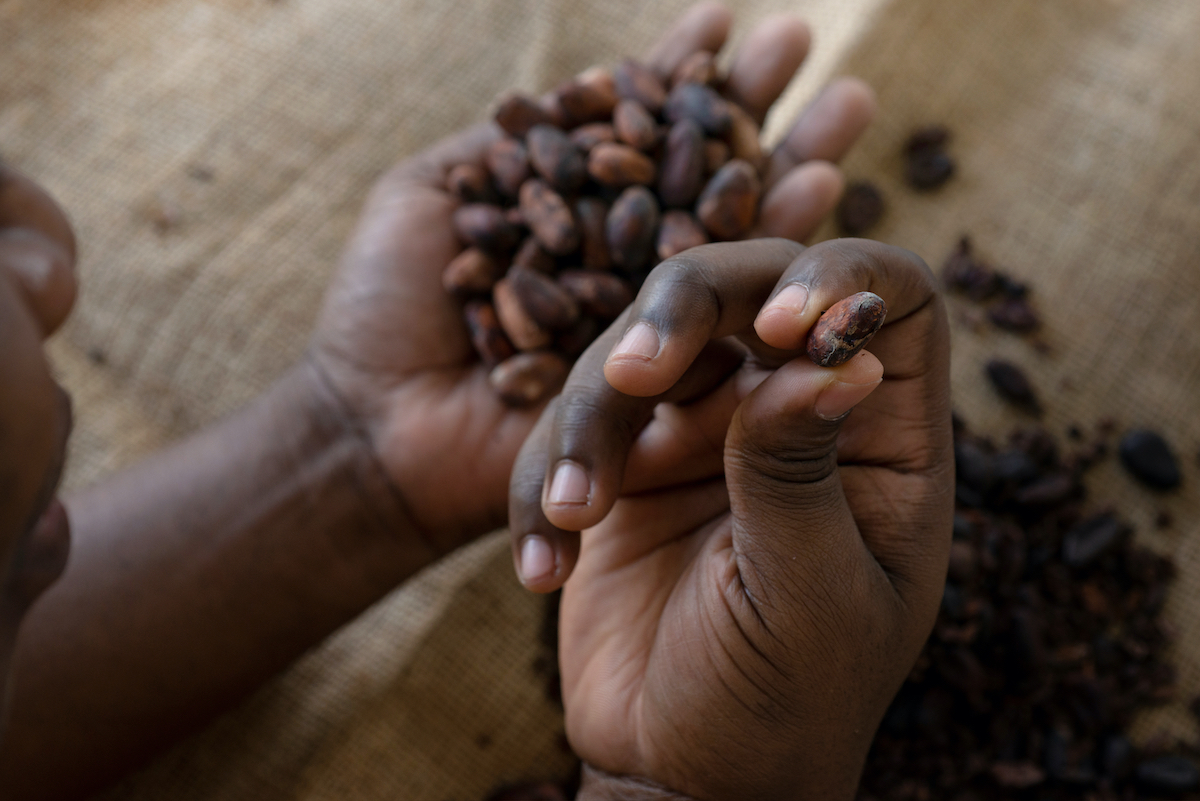 Hands holding cocoa beans.