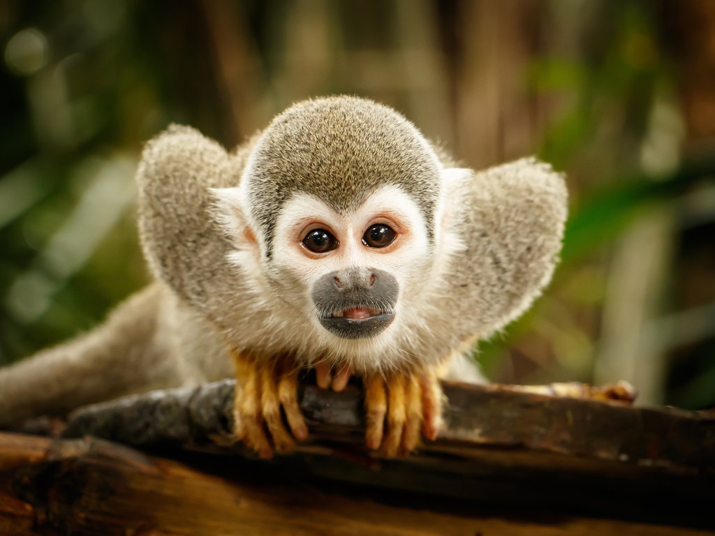 A photo of a squirrel monkey.