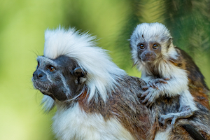 Photo of a baby tamarin looking at the camera.