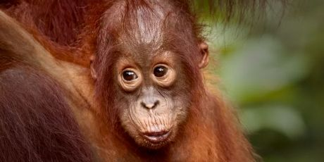 Surprised baby Tapanuli orangutan looking straight into the camera
