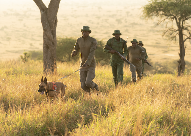 dog running with rangers