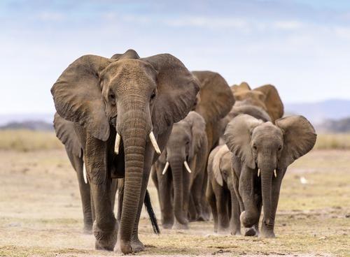 Elephants walking in your direction