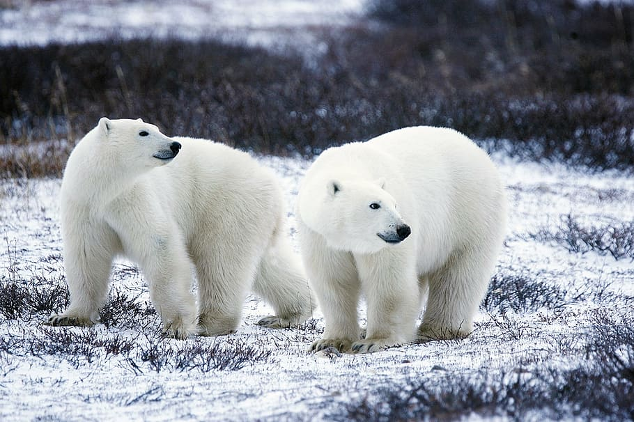 Two polar bears walk on snow covered ground