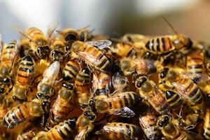 Photo of healthy honey bees