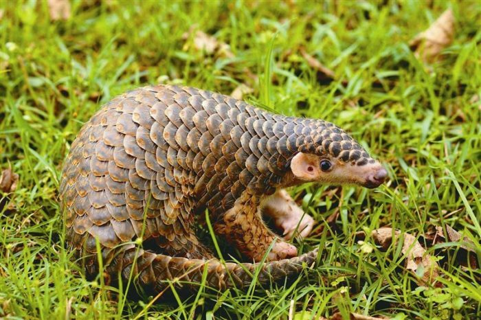 Little pangolin