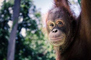 A close-up photo of an orangutan looking back at the camera.