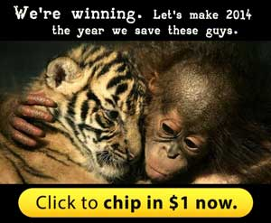 The orangutans are being killed. Let's make 2014 the year we save them.