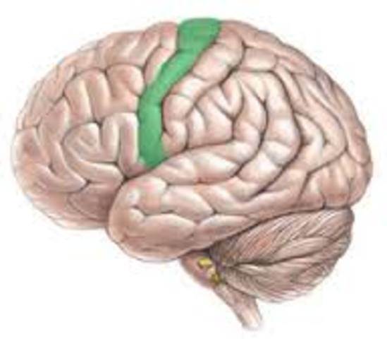 Discovery of the primary motor cortex