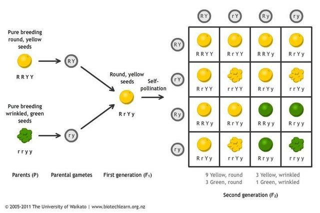 Gregor Mendel's works on inheritance of traits in pea plants