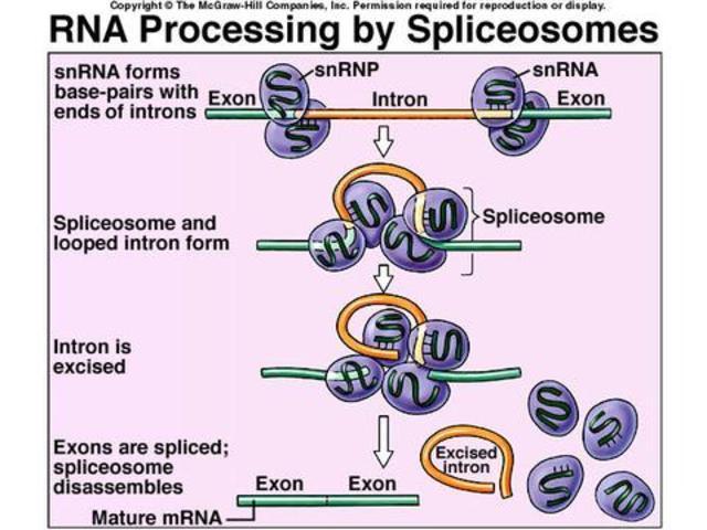 Spliceosomes were discovered and described
