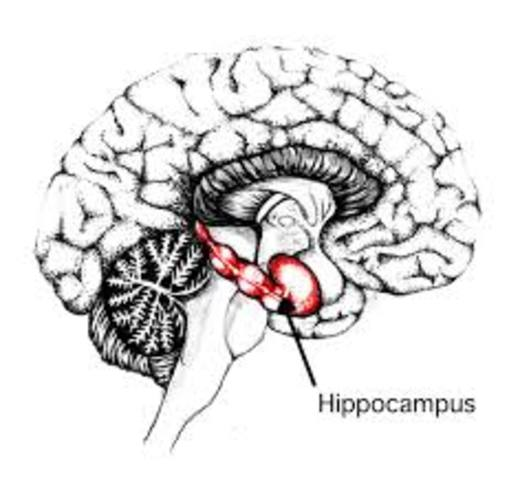 Identified Hippocampus