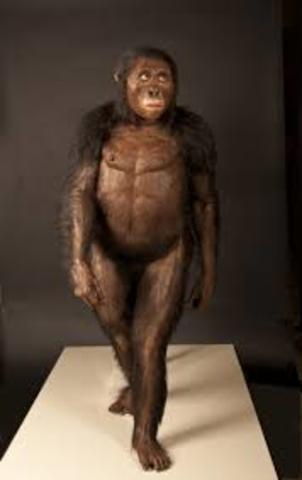 """Australopithecus Afarensis nicknamed """"Lucy"""" Fossil Discovered"""