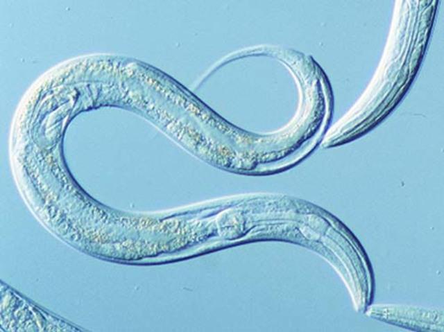 nematodo Caenorhabditis